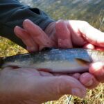 Our Fish of the month - A little Brook Trout from Three Mile Dam